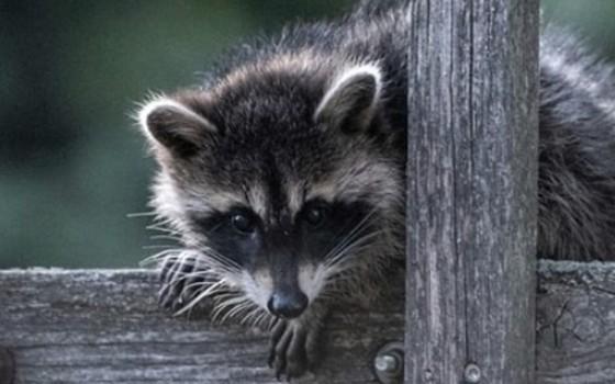 Stopp dem ungerechtfertigten Abschuss gebietsfremder Tierarten!